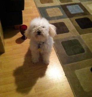 Toy Poodle ready for a walk