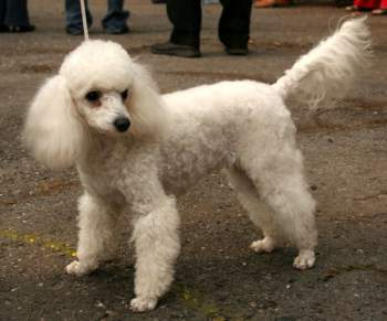 Poodle with undocked natural tail