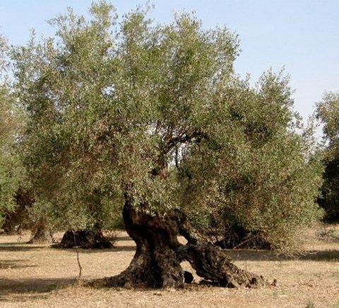 Albero di ulivo secolare