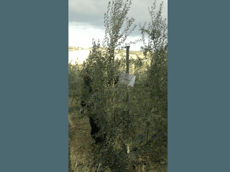 Raccolta ulivo