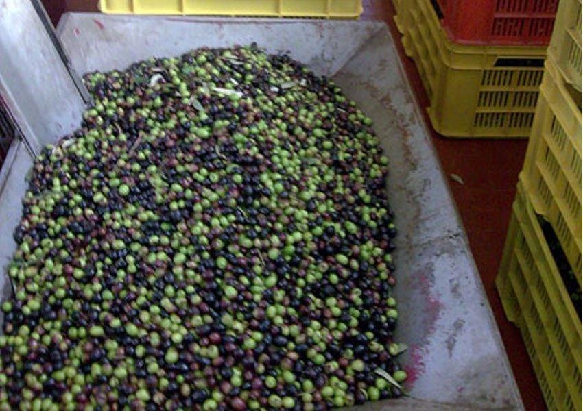 Olive pronte per la frangitura