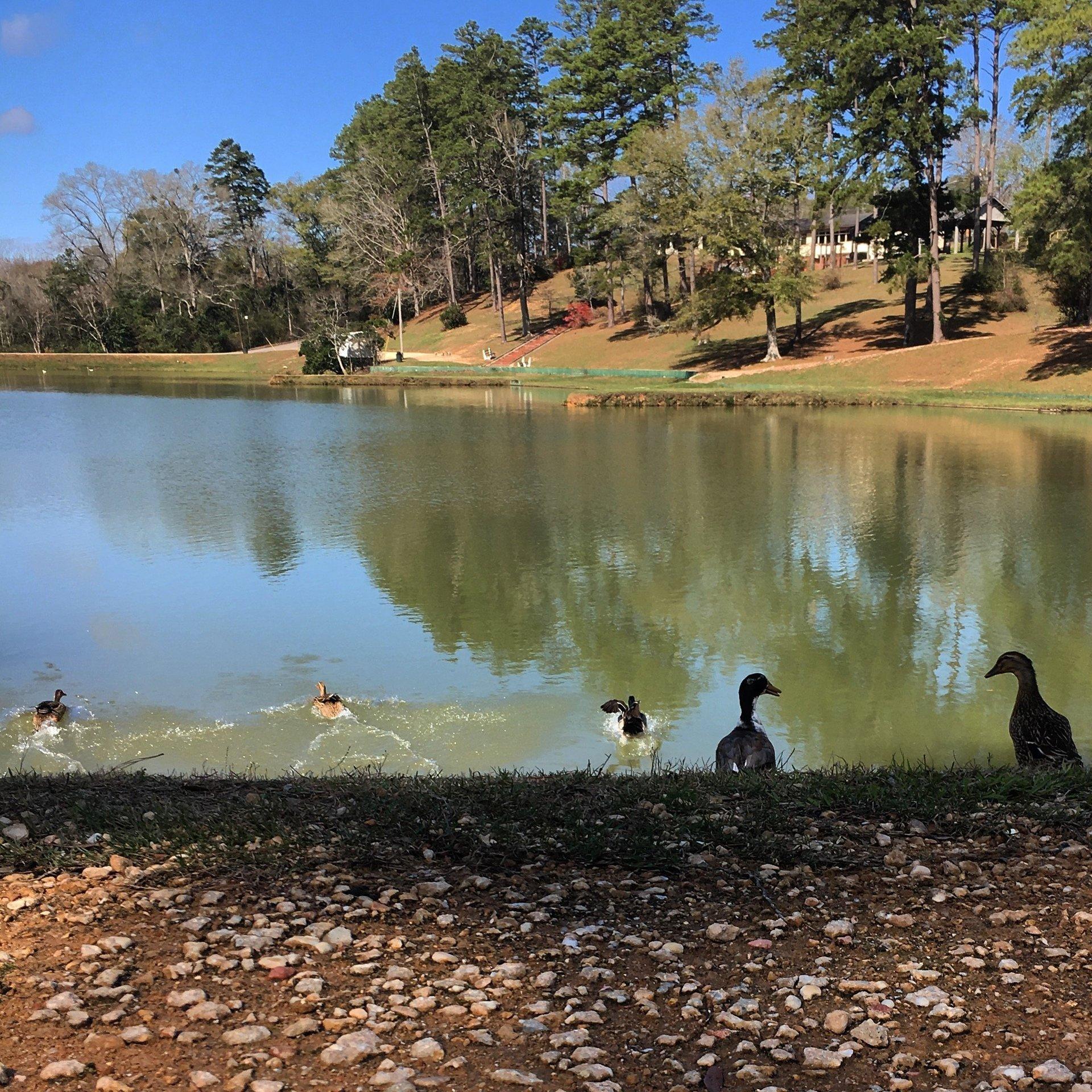 Whitey Lee Park Ducks