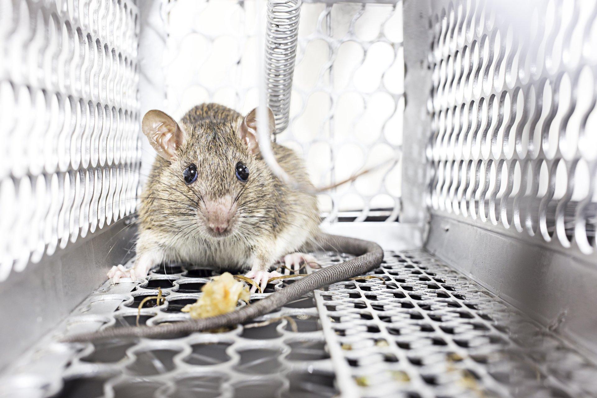 topo in un condotto