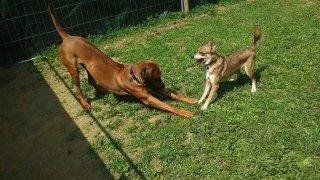 rhodesian ridgeback che invita al gioco un altro cane