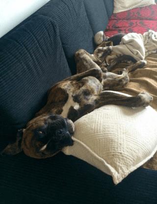 boxer sul divano: ecco la pensione di Torinodoggie