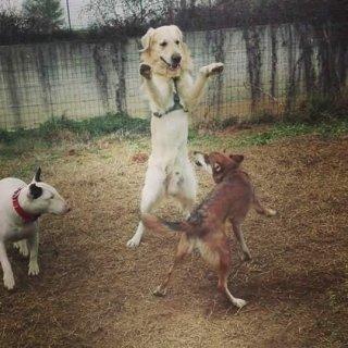 golden retriever che gioca con altri cani