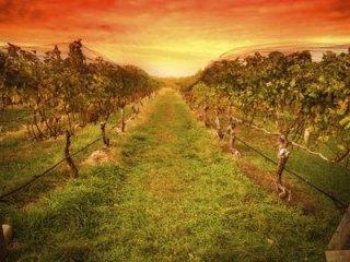 piante di viti