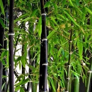 Vendita piante da esterno panetto floricoltura torino for Vendita bambu