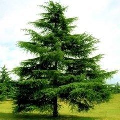 Vendita conifere - Torino