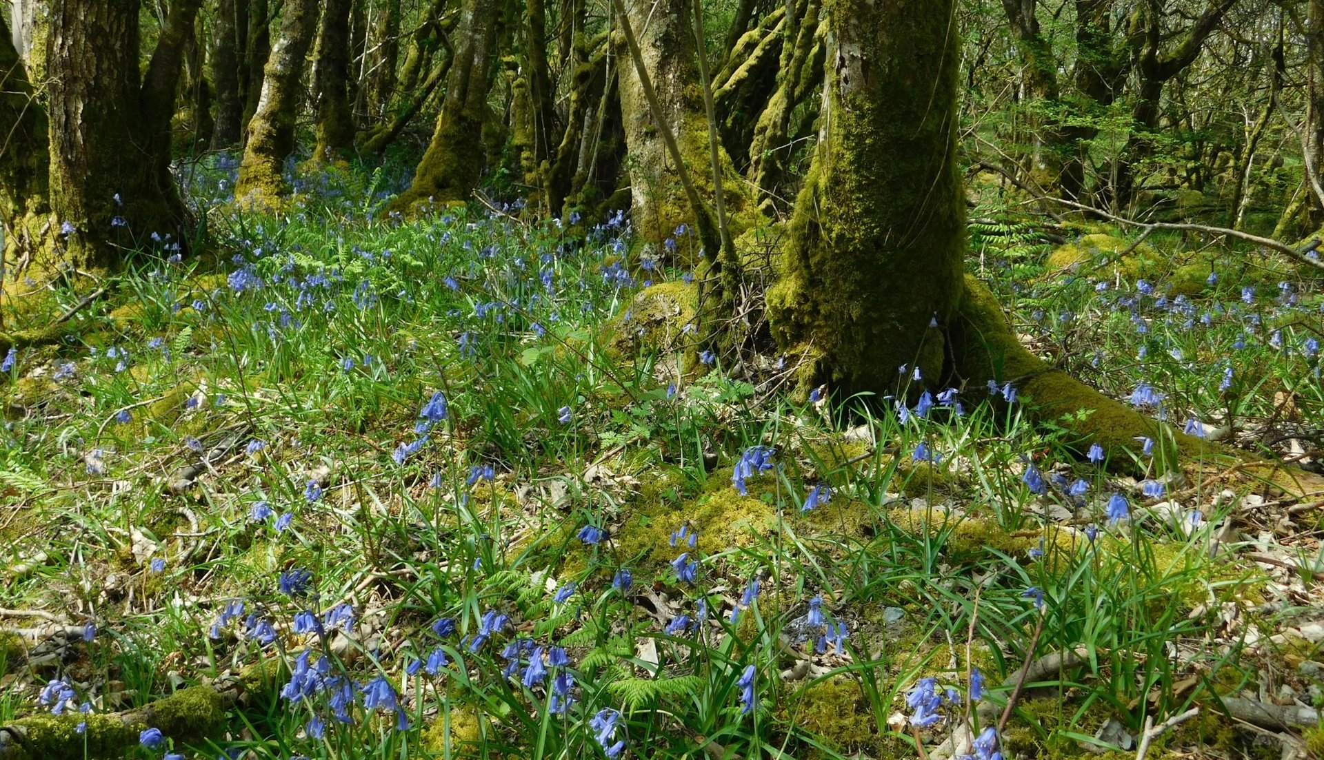 Bluebells at the rafting centre in Bala