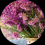 piante di erika