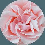 fornitura rose