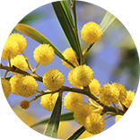 vendita mimose