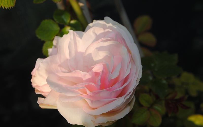vivaio rose