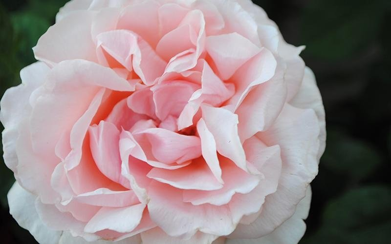 vendita rose