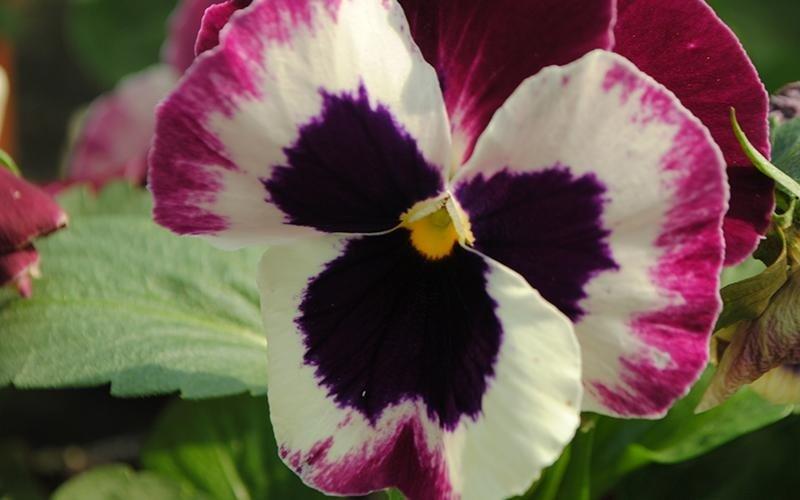 viole vari colori