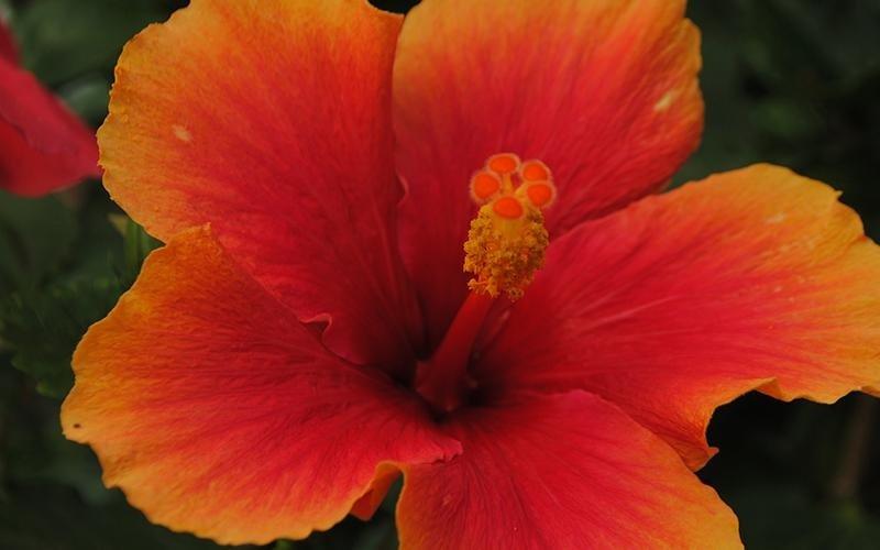 ibiscus arancione