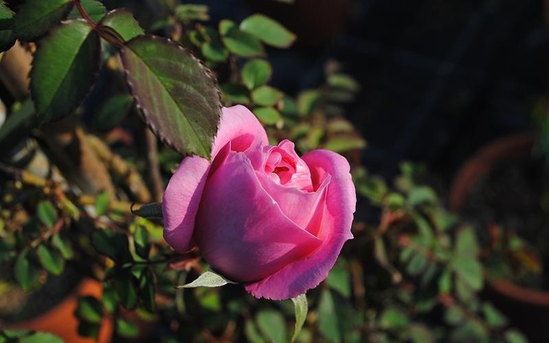 vendita rose bari
