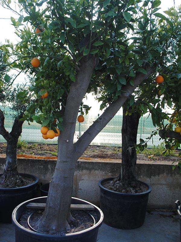 alberi da frutto bari
