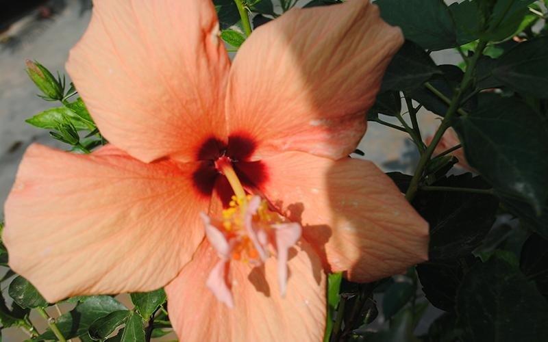 ibiscus per giardini