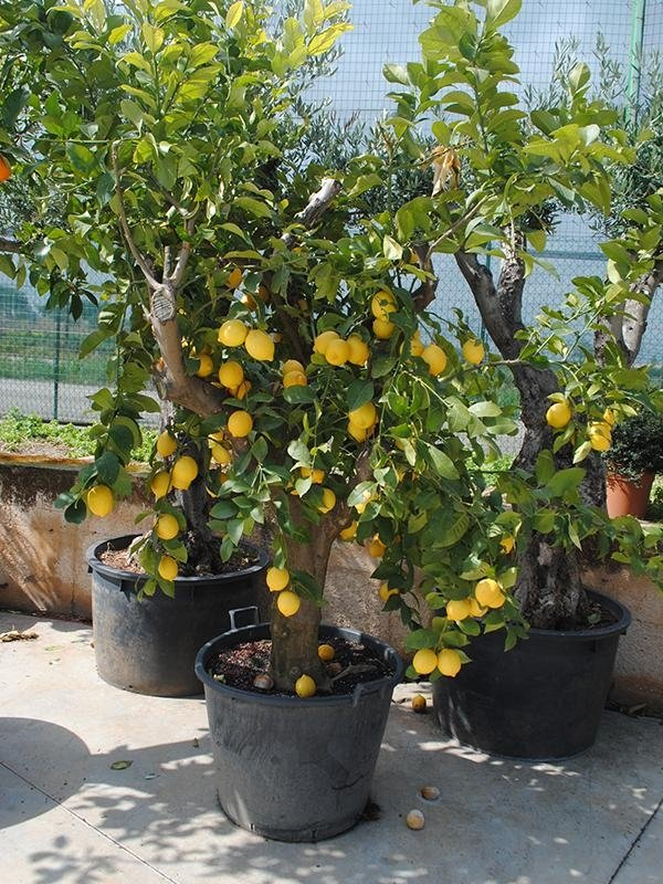 vendita piante da frutto vendita alberi da frutto