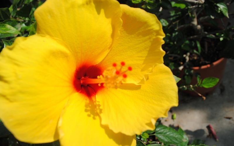piante di ibiscus