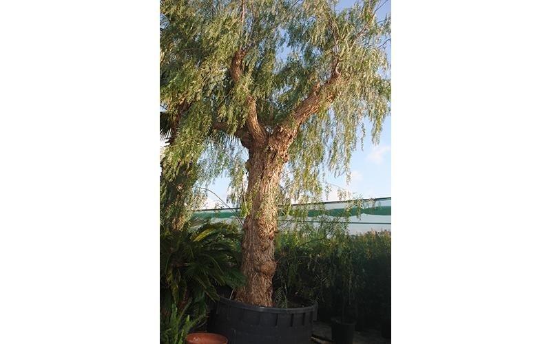 alberi per giardini