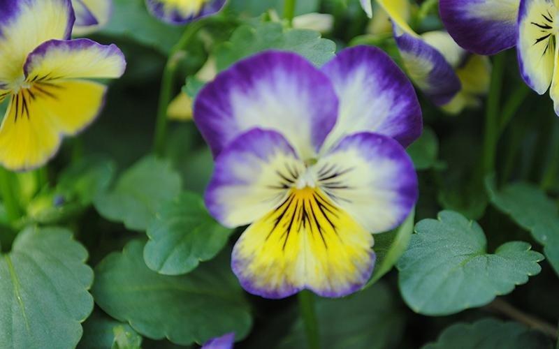 vendita violette