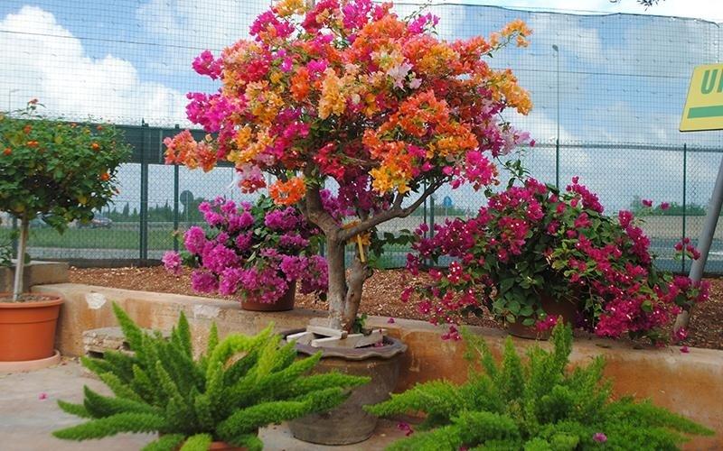 albero bouganville