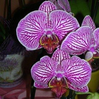 Orchidea rosa con striature bianche