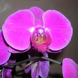Orchidea rosa intenso