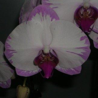 Orchidea bianca con bordo rosa