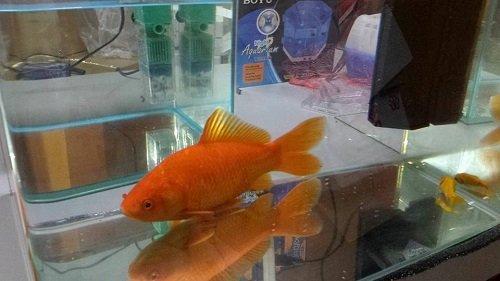 un pesce rosso