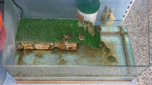 un acquario con delle tartarughe