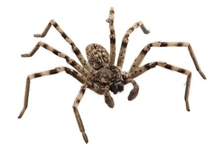 Say Goodbye to Wolf Spiders Fast with Avenge Pest Control