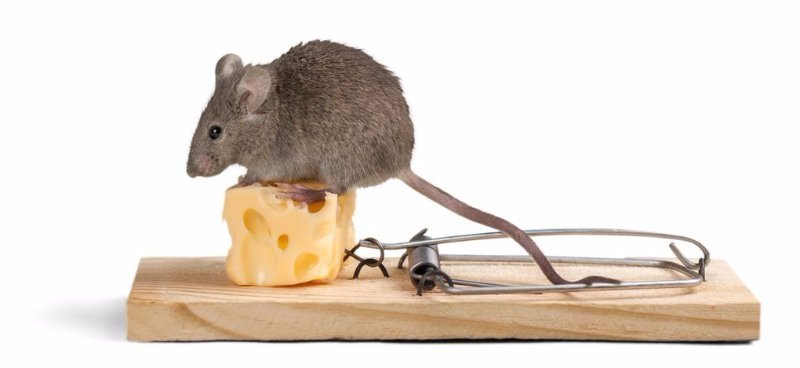 Get Rid of Mice Fast with Avenge Pest Control