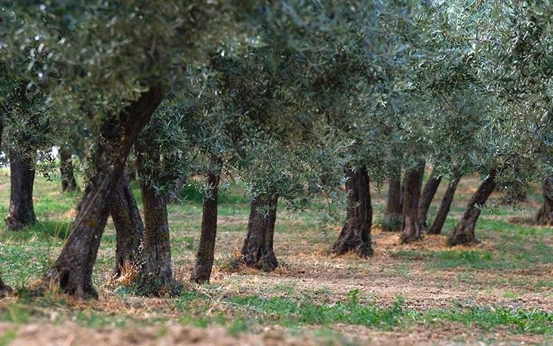 olivi olio il castello di foligno
