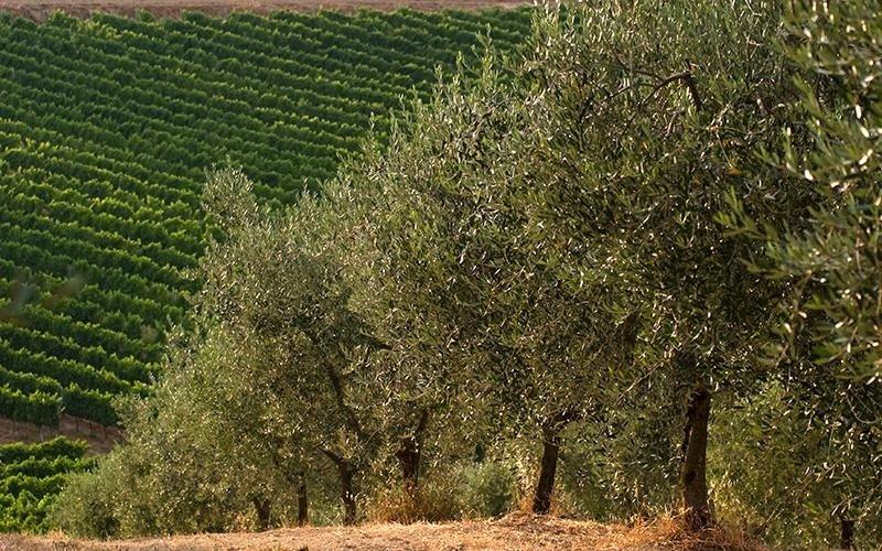 olivi olio il castello