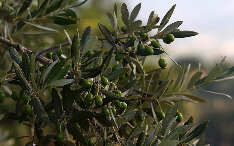 olivi olio il castello foligno