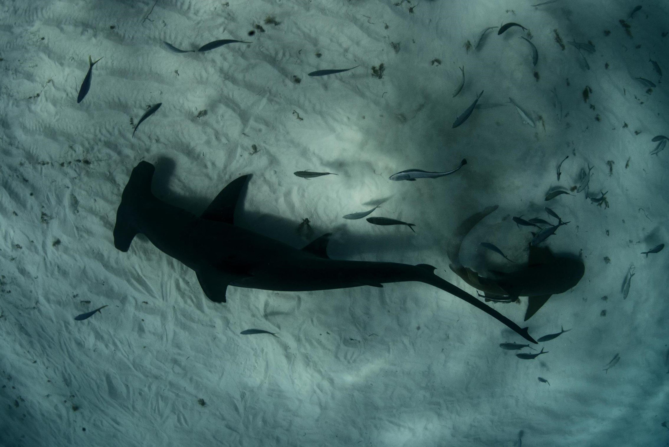 Great Hammerhead and Nurse Shark patrol sea bed for food, Bimini, The Bahamas