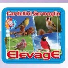 ElevagE Cardellini Germoglio