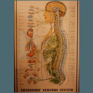 anatomia sistema nervoso