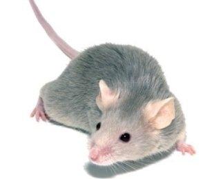 disinfestazione da ratti