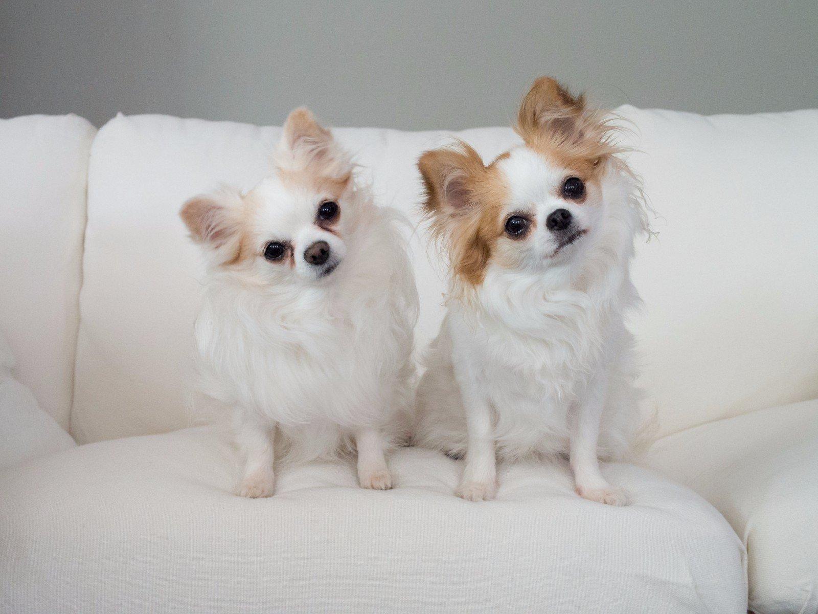 Due cani su un divano