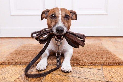Cane con un guinzaglio in bocca aspettando qualcuno lo porti fuori