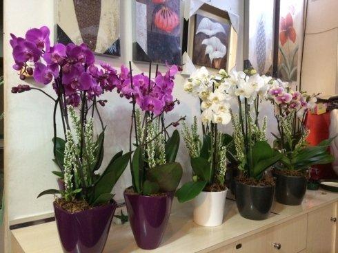 vasi fiori, ciclamini, orchidee
