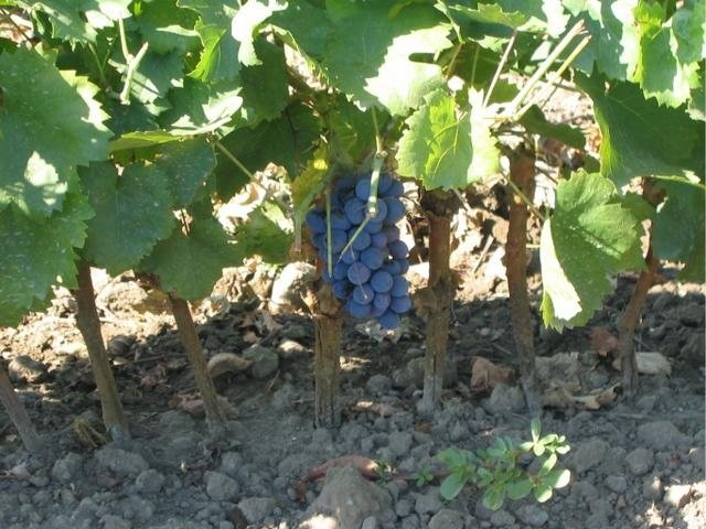 Nero d'Avola grafted vine shoot on Ruggeri 140 rootstock