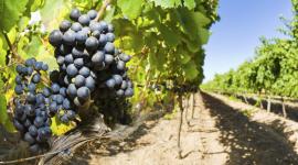 vigneti, coltivazione dell'uva, laboratorio enologico
