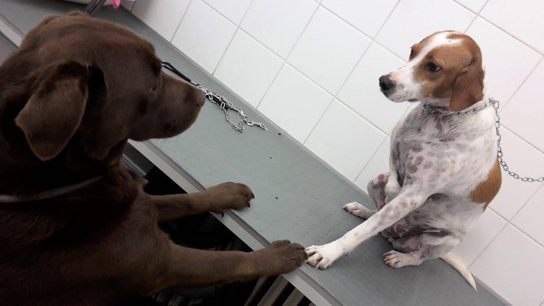 un cane su un tavolo per toelettatura che porge la zampa ad un altro cane