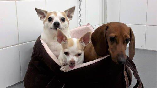 tre cani in una borsa